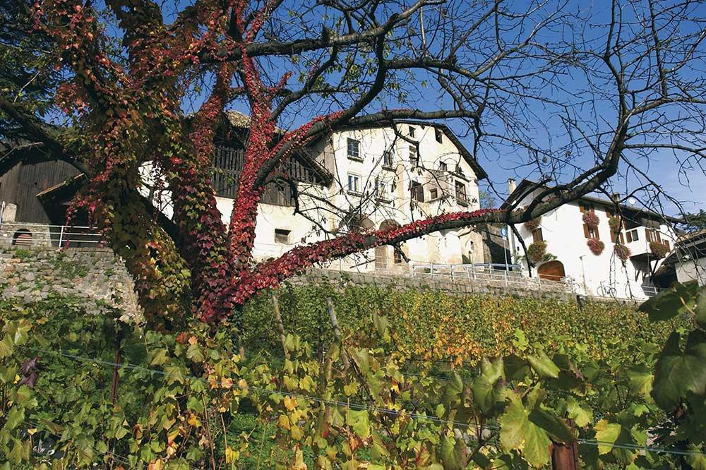 Die älteste und grösste Weinrebe Europas