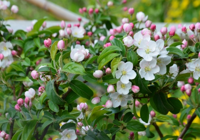 Apfelblüte DSC_0556