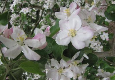 Apfelblüte IMG_1238